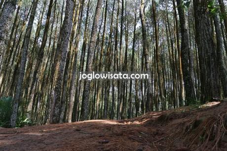 Hutan Pinus Asri Mangunan Tempat Spot Foto Cantik Murah Meriah