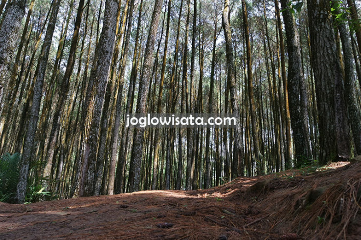 Spot Selfie Alami di Hutan Pinus Mangunan Jogja
