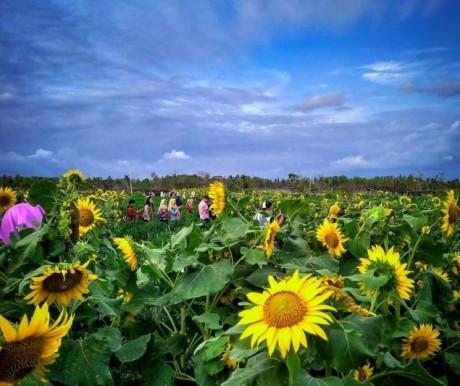 Bikin Foto Ciamik di Kebun Bunga Matahari Bantul