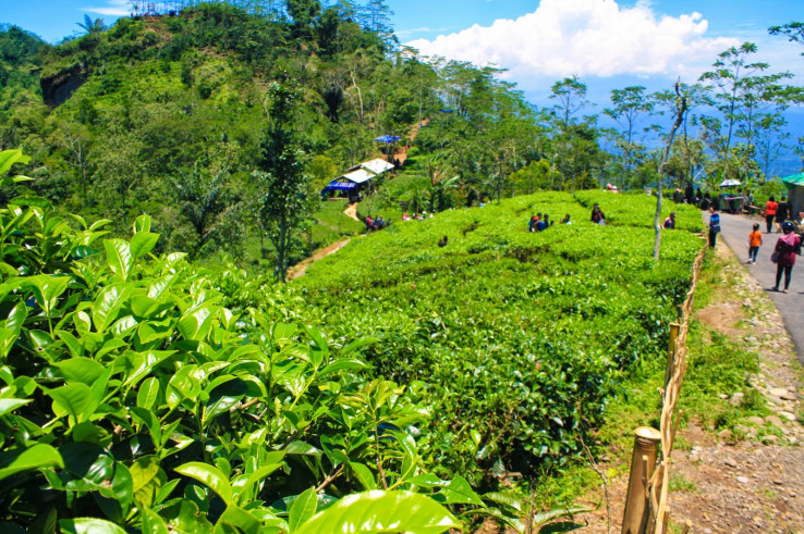 Wisata Kebun Teh Nglinggo, Yogyakarta