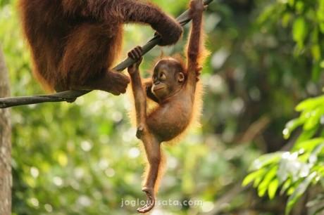 Paket Wisata Orangutan Tanjung Puting 3 Hari 2 Malam