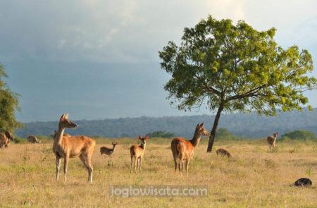 Banyuwangi - Taman Nasional Baluran Jawa Timur