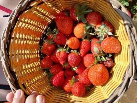 Wisata Petik Strawberry Bandung